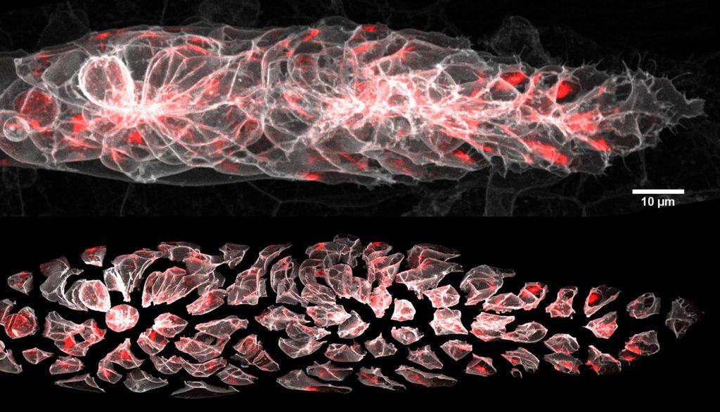 microscopy image of zebrafish cells