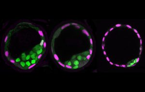 3-panel image of mouse blastocysts. From left to right the blastocyst has a smaller blastocoel meaning fewer cells in the mouse embryo.