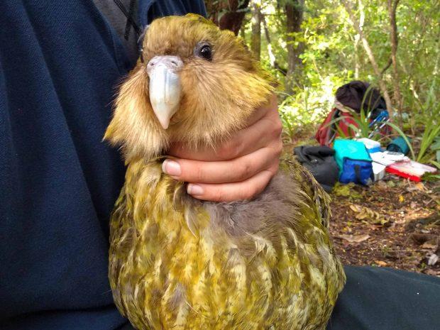 Kakapo Luke