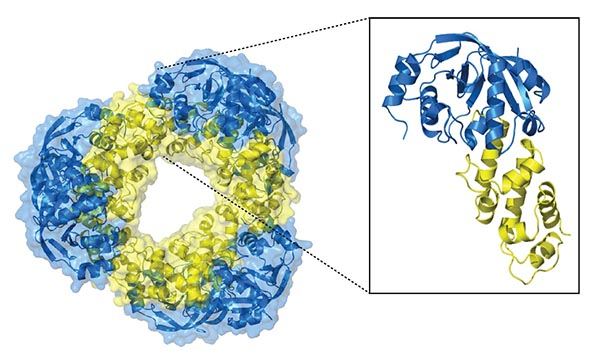 The structure of a toxin-antitoxin system found in Mycobacterium tuberculosis. Viewed as an inner yellow ring and outer blue additions in roughly the shape of a ring doughnut.