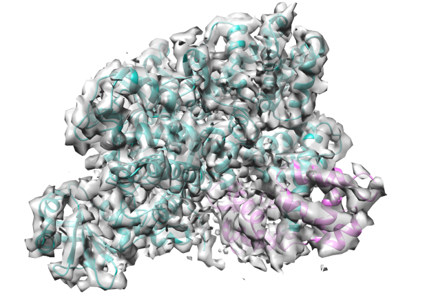 The cryo-EM structure of the SidJ/CaM complex. SidJ is shown in cyan, Calmodulin in pink. IMAGE: EMBL