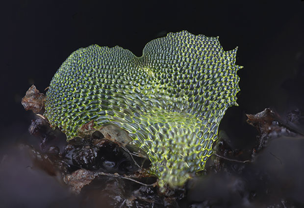 Picture of a fern gametophyte