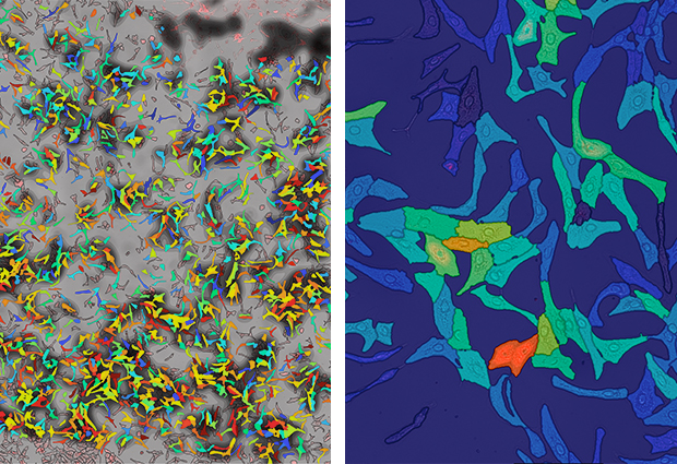 Fluorescence microscopy images of differentiated human hepatocytes