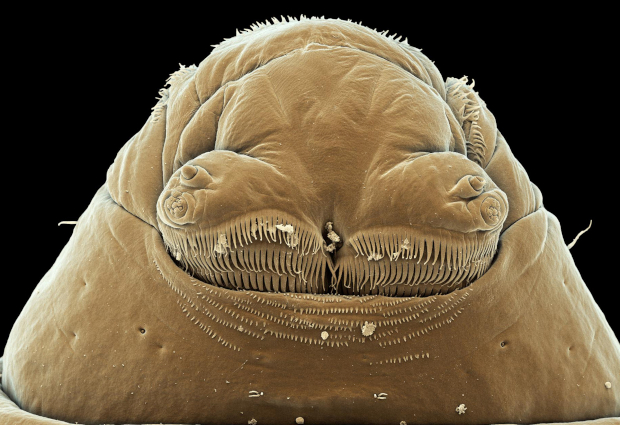 The head of Drosophila larva, seen with a scanning electron microscope. Credit: Parisa Kakanj/EMBL