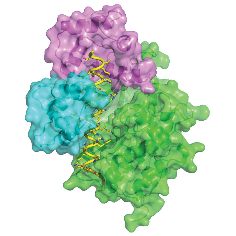 This image shows the three-dimensional structure of Death-Associated Protein Kinase (green and yellow) when bound to calmodulin (violet and blue). It was obtained by X-ray crystallography. Image credit: Mathias Wilmanns / EMBL