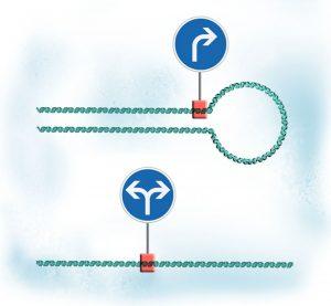 Diagram showing looping DNA