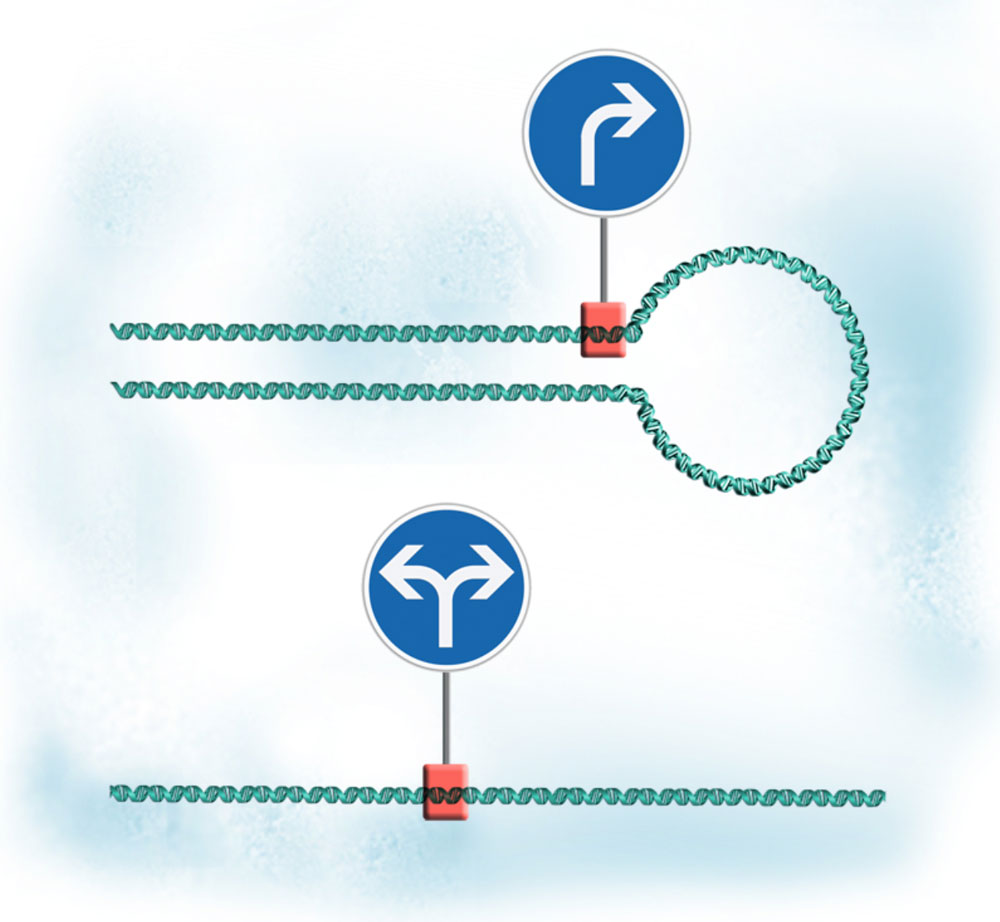 Diagram showing looping DNA