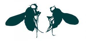The female (left) fruit fly, Drosophila melanogaster, is larger than the male (right). Image credit: EMBL.