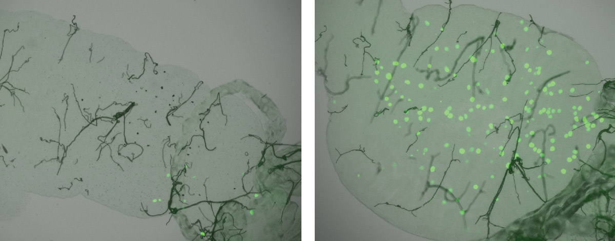 These microscopy images show that, in A. gambiae mosquitoes, the different alleles of the TEP1 gene confer different degrees of resistance to malaria: the midgut of a mosquito whose only functional allele is the 'resistance' one (left) contains a number of dead malaria parasites (black dots), but very few live parasites (fluorescent green dots), whereas in another, genetically identical, mosquito with only the 'susceptibility' allele turned on (right), parasite survival was much higher. Image credit: Marina Lamacchia/INSERM