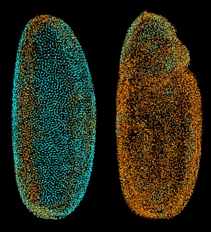 The Fly Digital Embryo at different developmental stages, with cell nuclei coloured according to how fast they were moving (from blue for the slowest to orange for the fastest). The fruit fly embryo is magnified around 250 times. IMAGE: Philipp Keller