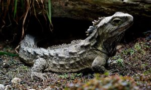 The tuatara, an iguana-like reptile with a crest of spikes, sits on a forest floor.