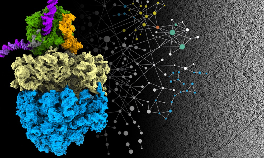 This visual representation shows the newly identified architecture (left) of the coupled molecular machines responsible for transcription (green; DNA in magenta) and translation (blue and yellow), accompanied by the protein interaction network from mass spectrometry (centre) and the cryo-electron tomography data (right) from Mycoplasma pneumoniae that was used to model the structure. Credit: Liang Xue and Julia Mahamid/EMBL