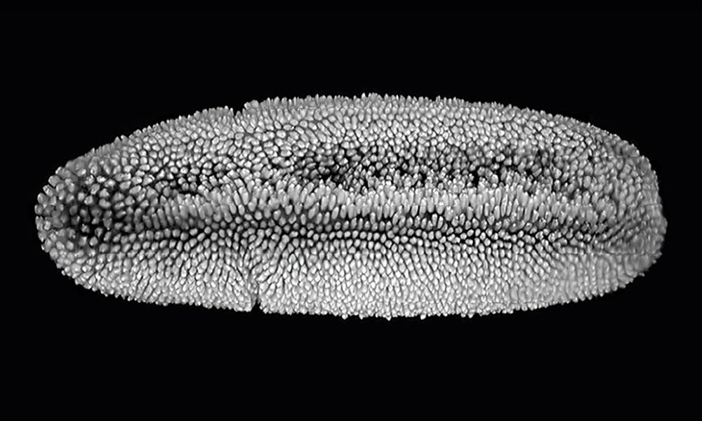 An embryo of the fruit fly Drosophila.