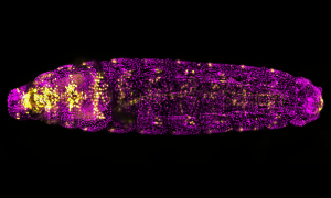 Fluorescent microscopic image of fruit fly larva with tubular heart cells in gold and the remainder of image in magenta
