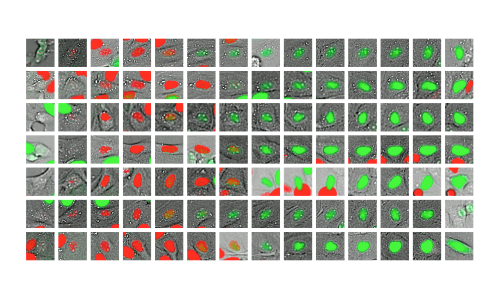 A series of images demonstrates the cell cycle trajectory, the first frame in each row shows a cell's nucleus in grey. As it moves through its life cycle and enters new phases, markers change colour from red to green to pinpoint progression.