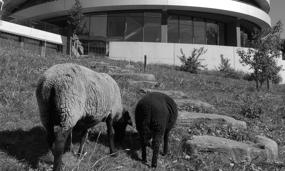 Greyscale image of two sheep grazing.