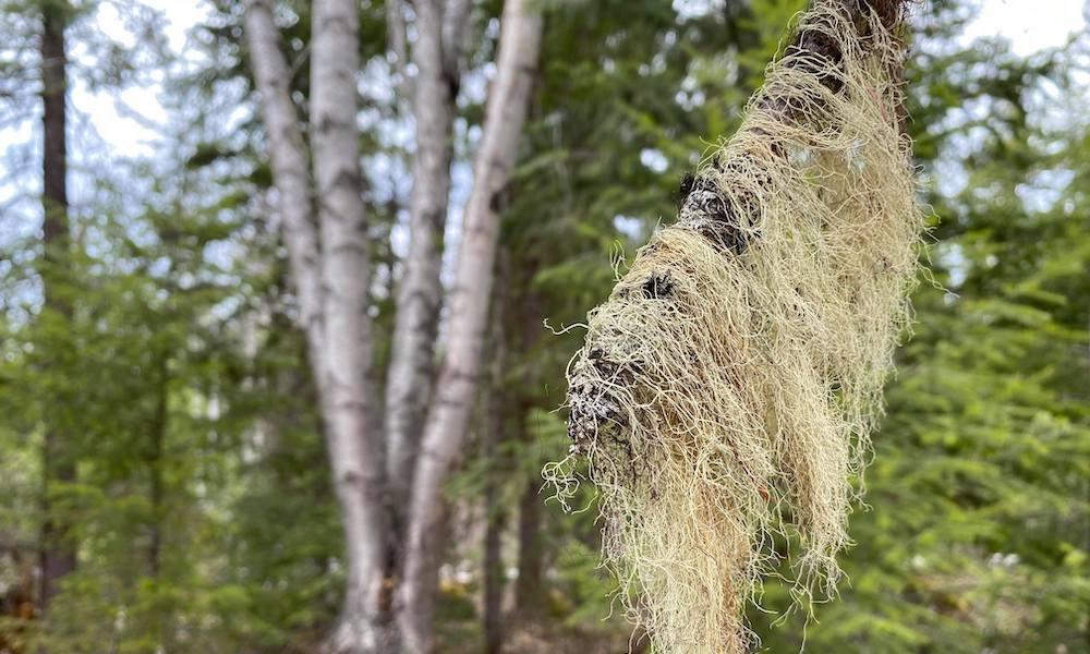 wild lichen