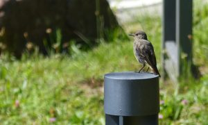Dark grey bird sitting on a metal lamp post. Grass and rock in the background.