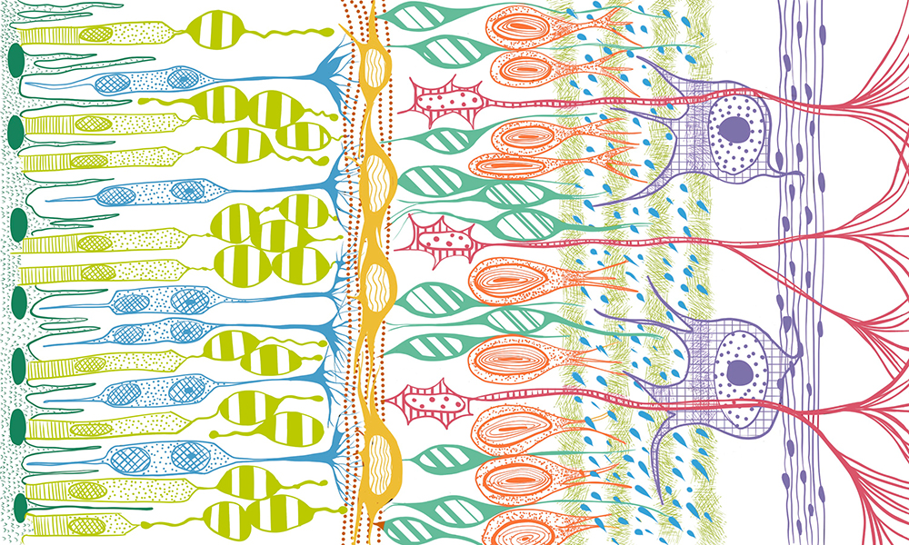 Artistic representation of the complex cell circuit forming the retina
